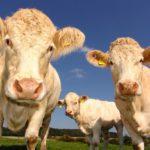 cows-1029077_1280