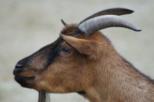 goat-184584_640