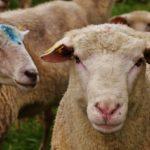 sheep-1586747_640